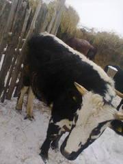 Продам быка на мясо,  кастрированный откормленный.