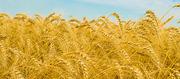 продам пшеницу 4 класса, Количество 1008 тонн